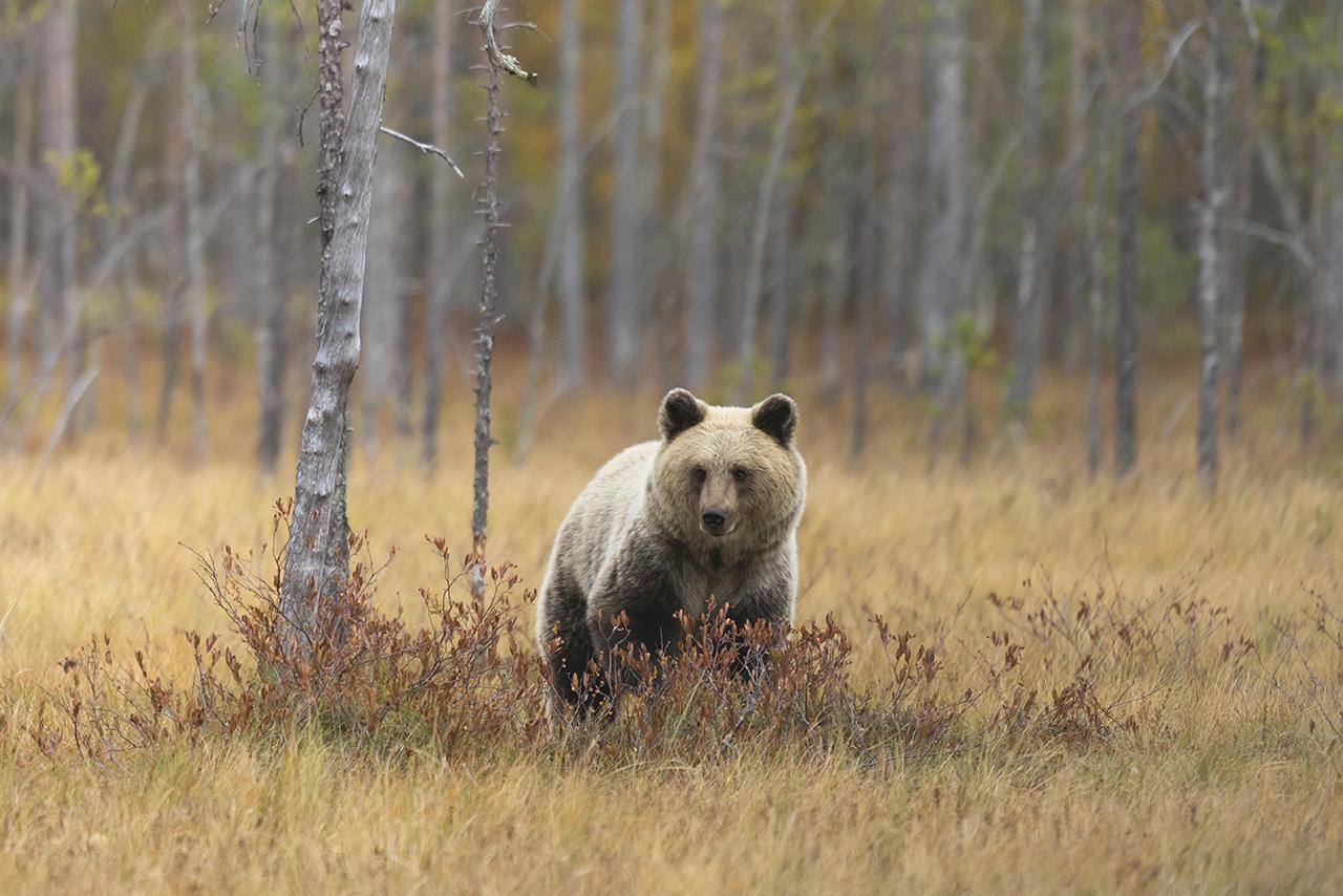 Медведь напал на грибника в Подмосковье