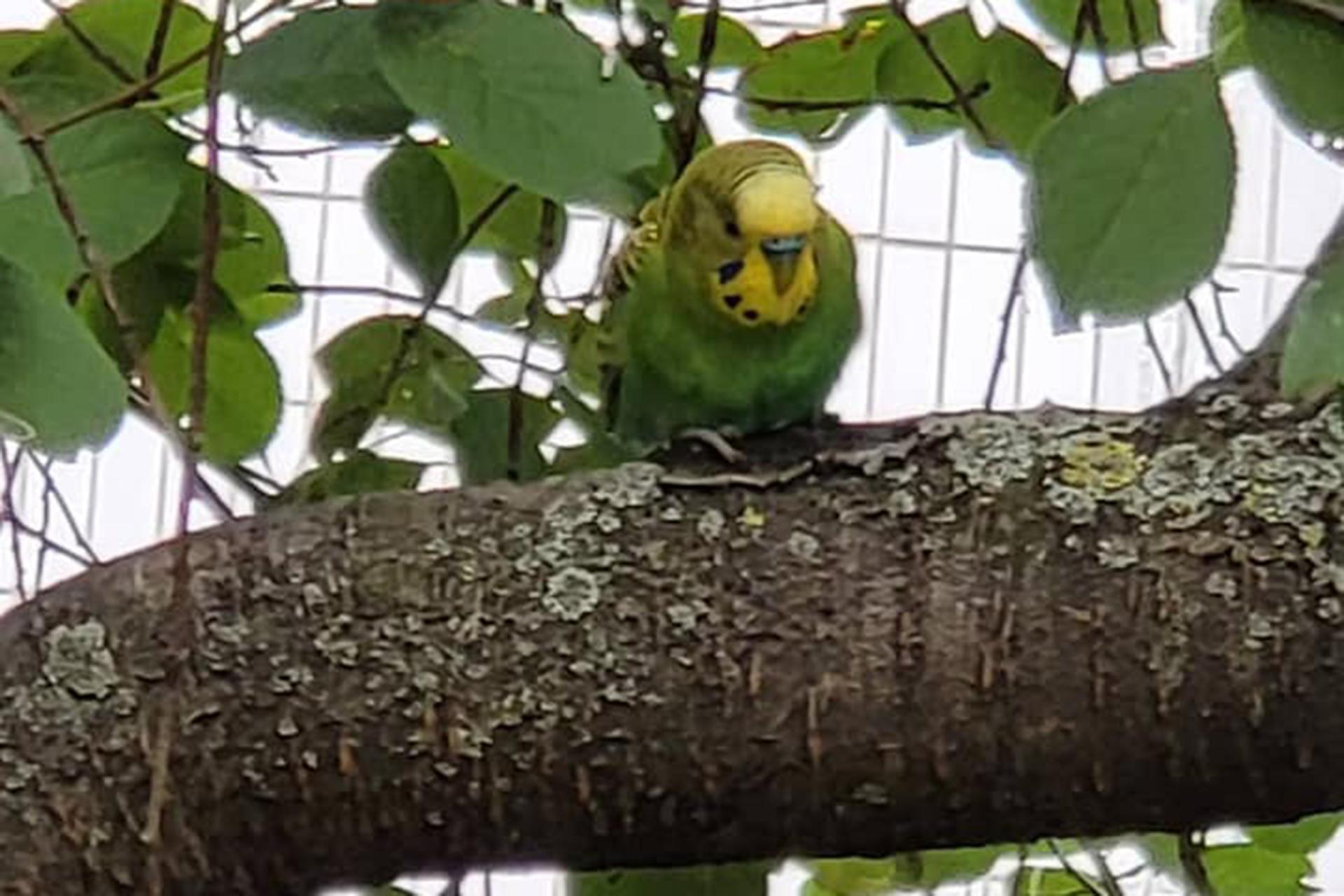 В Москве заметили прибившегося к стае воробьев попугая